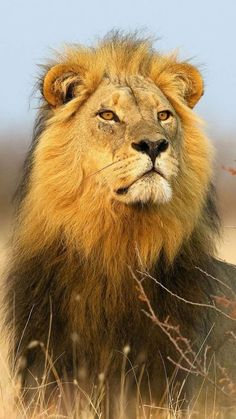 Psychic Healer, Distance Healer, Psychic Healing call / text Correo electrónico: i . - The real Kings - Animales Nature Animals, Animals And Pets, Cute Animals, Beautiful Lion, Animals Beautiful, Lion Photography, Lions Photos, Big Cats Art, Lion Love