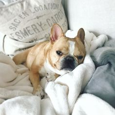 @houseofcards binge going  Chloe the Mini Frenchie, French Bulldog on instagram #netflixnugget