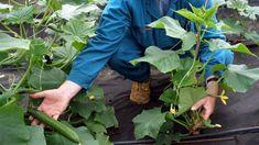 Krok za krokom: Vrúbľujeme uhorky a dyne - Pluska. Celery, Spinach, Herbs, Vegetables, Garden, Plants, Chata, Garten, Lawn And Garden