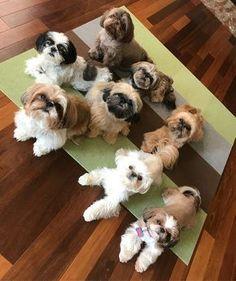 Shih Tzu Hund, Perro Shih Tzu, Shih Tzu Puppy, Shih Tzus, Baby Shih Tzu, Shitzu Puppies, Cute Dogs And Puppies, I Love Dogs, Doggies