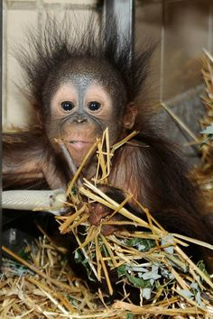 Kecil, a 6-month-old Bornean Orangutan, is winning the hearts of Brookfield Zoo fans.