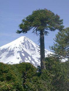 A coniferous evergreen tree (Araucaria araucana), araucaria in Spanish.