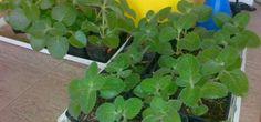 Rýmovník je nenáročná pokojová  rostlina s univerzálním využitím