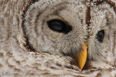 Barred Owl - Worth1000 Contests  3rd place in the Beginner: Fill the Frame 2013 contest.