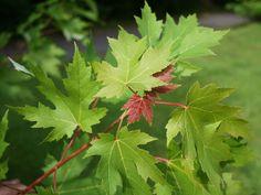 Érable argenté Acer saccharinum