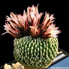 Turbinicarpus pseudopectinatus forma inermis [Family: Cactaceae] Cacti And Succulents, Planting Succulents, Dream Garden, Home And Garden, Green Gang, Cactus Art, Gourd Art, Gourds, Roots