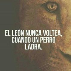 El leon nunca voltea cuando un perro ladra. Frases de éxito y motivación