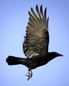 Vogel foto: Corvus corone / Zwarte Kraai / Carrion Crow