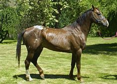 Nez Perce Horse ( a cross between an Appaloosa and an Akhal Teke.)