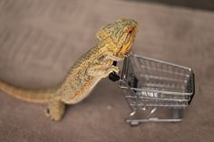 This is Pringle the bearded dragon and he is on a mission to prove that reptiles are equally as adorable and funny as cats or dogs. Description from blazepress.com. I searched for this on bing.com/images