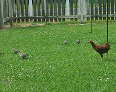 Just doesn'look right ! Somebodies chicken decides she wants bird seed...