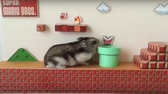 Oh, this is just a hamster trying to clear the hamster version of the very first stage in Super Mario Bros. Super Mario Run, Nintendo, Super Mario Brothers, Mario Bros., Maze, Card Games, Geek Stuff, Pets, Xbox