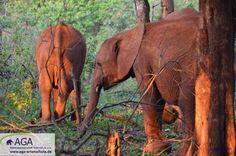 Die kleinen Elefantenwaisen werden in ihrer Zeit im Waisenhaus und später in der Auswilderungsstation am Tsavo East Nationalpark auf ein Leben in der Wildnis vorbereitet. Aga, Elephant, Animals, Kenya, Wilderness, January, National Forest, Life, Projects