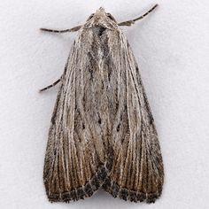 Catabena lineolata, Five-lined Sallow.
