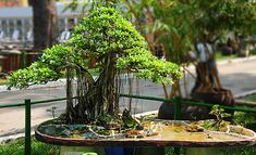 A+miniature+landscape+with+a+ficus+tree+on+a+bank+of+river.jpg (800×486)