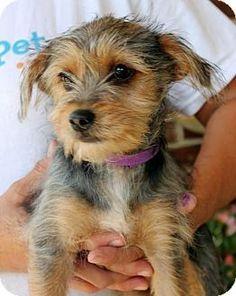 No Longer Listed - Prattville, AL - Yorkie, Yorkshire Terrier Mix. Meet Sassafrass 22722, a puppy for adoption. http://www.adoptapet.com/pet/13241456-prattville-alabama-yorkie-yorkshire-terrier-mix