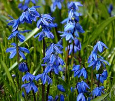 "Common Name: Siberian Squill  50/$12.00  Hardiness Zone:  2-8 S / 2-9 W    Height: 4-6""    Exposure: Full or Part Sun    Blooms In: April    Spacing: 3""    Ships as: Bulb"