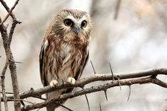 Owl Pictures: Northern Saw Whet Owl