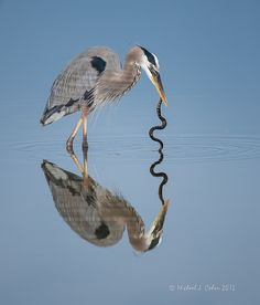 great blue heron + snake 'sghetti