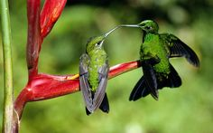 Diamants de la jungle, le baiser de Colibri Wallpaper