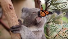 The Symbio Wildlife Park was just trying to get some footage of Willow the koala when a monarch butterfly happened upon the scene and made true movie magic.