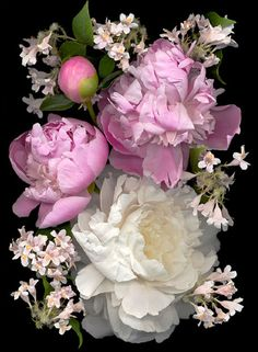 On the Lighter Side: Pale-colored buxom peony blossoms contrast with the little light pink trumpet flowers from old-fashioned beauty bush, Kolkwitzia amabilis.