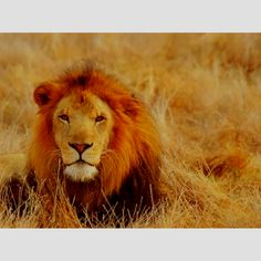 king of the jungle. strong & mighty