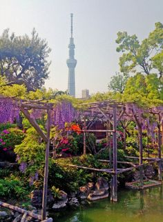 Wisteria in full bloom against a backdrop of Tokyo Sky Tree at Kameido-Tenjin temple grounds.