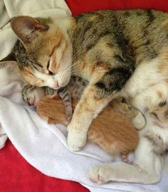 Oh my goodness how precious! Momma kitty and her precious little newborn kittens Cute Cats And Kittens, I Love Cats, Crazy Cats, Kittens Cutest, Beautiful Cats, Animals Beautiful, Cute Baby Animals, Animals And Pets, Bb Chat