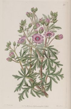 v. 25 (1839) - Edwards's botanical register. - Biodiversity Heritage Library - Geranium