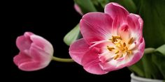 Tulipa, Tulipas, Jogo De Nitidez