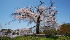 Kyoto Travel: Maruyama Park (Maruyama Koen)