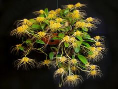 http://upload.wikimedia.org/wikipedia/commons/6/65/Bulbophyllum_vaginatum_1.jpg