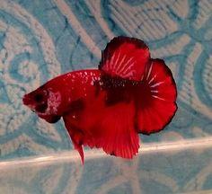 #14 Thai Import Fancy Red Black Male HMPK Halfmoon Plakat Betta Live Fish