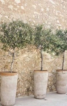 Blooming olive trees in terracotta pots arranged in a row along a cobblestone wall. Blooming olive trees in terracotta pots arranged in a row along a cobblestone wall. Potted Olive Tree, Potted Trees, Garden Trees, Garden Pots, Olivier En Pot, Baumgarten, Terracotta Pots, Container Plants, Terra Cotta