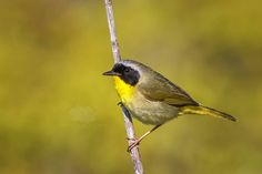 Common Yellowthroat Warbler - Bird Photo Print by JonathanElcockPhoto on Etsy