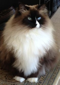 * * CAT SNIP: The Ragdoll, according to cat author Roger Tabor, was the first breed to have been developed for behavioral (instead of physical) characteristics. In this case, the cat's strange tendency to go limp when handled. This photo is of 'Annie'; Ragdoll of the Week.