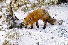 a fox swimming - Google Search