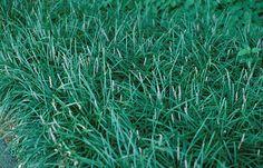 Lilyturf, Creeping, aka Mondo Grass.