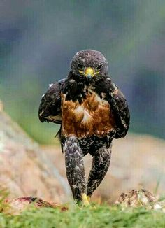 Even a hawk needs to take a walk, now and then.
