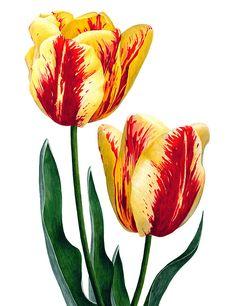Волшебница ботанической иллюстрации - Anna Mason. Обсуждение на LiveInternet - Российский Сервис Онлайн-Дневников