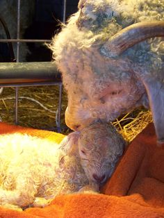 Iron Oak Farm: Putting Together a Goat Birthing Kit Manna Pro