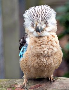 Blue-winged Kookaburra - Cool and Interesting Facts for Kids