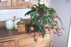 My Easter cactus in full flower