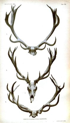 antlers, Videnskabelige Meddelelser fra den naturhistoriske Forening i Kjobenhavn, 1849, 1904