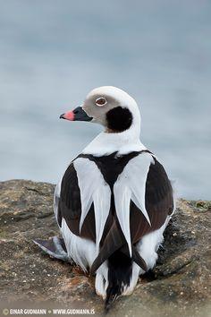 Pretty Birds, Love Birds, Beautiful Birds, Animals Beautiful, Cute Animals, Duck Pictures, Animal Pictures, Exotic Birds, Colorful Birds