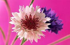 Flowers...Flowers...Flowers...  Cornflowers