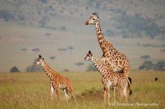 Mom and babies, Governor's camp, Masai Mara, Kenya
