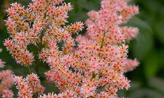 Astilbe 'Hip Hop', Astilbe 'Hip Hop', False Spirea 'Hip Hop', False Goat's Beard 'Hip Hop', Pink Astilbes,Pink flowers, flowers for shade