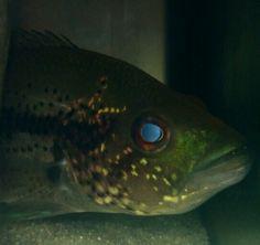 """Parachromis dovii - wolf cichlid 6 """""""